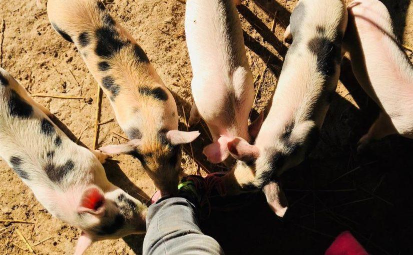 Die Schweinezüchterin oder wie man Geister versöhnt und die Welt verbessert